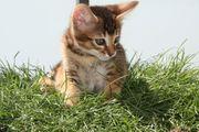 Bengal Abessinier Savannah Mix Kitten