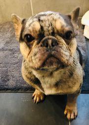 französische Bulldogge Deckrüde mit AT