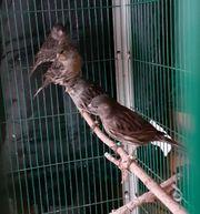 kanarienvögel kobalt