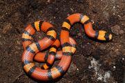 Lampropeltis t Hondurensis 1 0