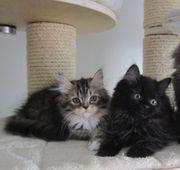 Katzenbabys - Wohnungskatzen - Maine Coon mit
