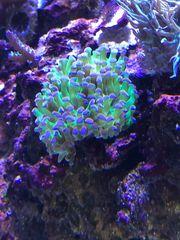 euphyllia Koralle lps Meerwasser
