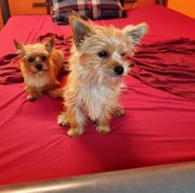 Yorkshire terrier-chihuahua Mischling