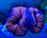 Meerwasser Korallen SPS LPS