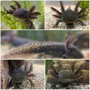 Schöner Axolotl aus eigener Zucht