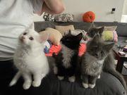 2 Main Coon Kitten suchen