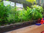 aquariumpflanze