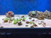 Meerwasser Korallen Korallenableger Lebendgestein
