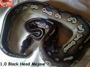 1 0 Black Head Mojave