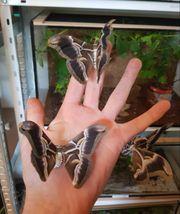 Samia ricini zebra Raupen-kokon