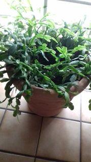 Pflanze in neuem Topf zu