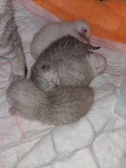 BKH-Kitten mit Stammbaum