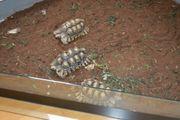 2 1 Pantherschildkröten Gruppe Geochelone
