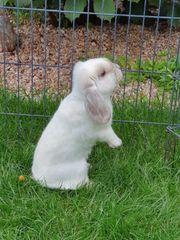 Zwergwidder Rammler 6 Monate Kaninchen