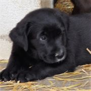 noch 1 Labrador Mischlingswelpe