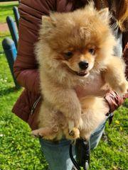 Pomeranian Welpe zum Verkauf