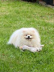 Wunderschöne Pomeranian Zwergspitz - Deckrüde