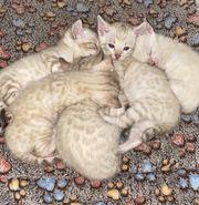 Snow Bengal Kitten suchen neues