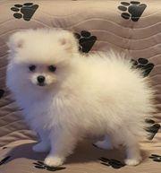 süßen Zwergspitz Pomeranian Mini Boo