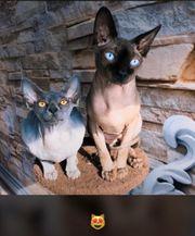 Sehr schöne Sphynx kitten sind
