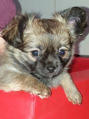 Bildhübsche Chihuahua Welpen in liebevolle