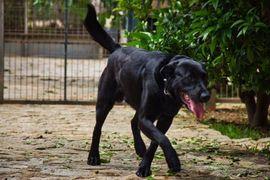 Hunde - TROY Pastor Mallorquin - Familienhund sehr