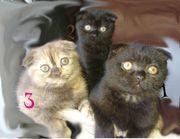 Seltene Farbe-Schottische Katzen zur abholung