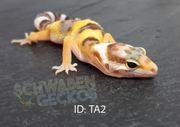Leopardgeckos Hypo Tangerine Tremper Albino