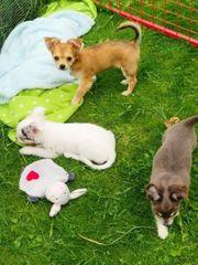 Chihuahua mit Ahnentafel ab sofort