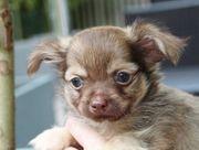 Chihuahua Welpen in hübscher Farbgebung