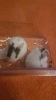 gold hamster teddy hamster mix