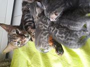BlueBengal kitten mit Stammbaum