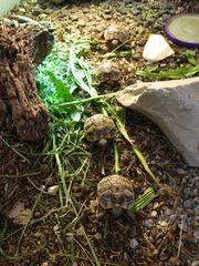 Verkaufe 2 Griechische Landschildkröten THB