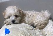 Havaneser Hunde zu verkaufen