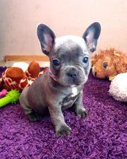 Französische Bulldogge Welpen mit Nase