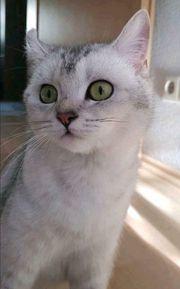 BKH Katze silver shaded