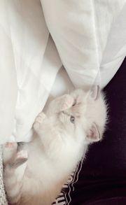 Edelmix Bkh- Ragdoll Kitten