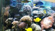 Meerwasser LPS Euphyllia Koralle