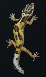 Leopardgecko auf weibchen inkubiert 202