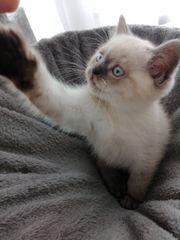 BKH Skotisch Fold Kitten