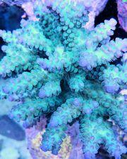 Meerwasser Korallenableger SPS Krusten
