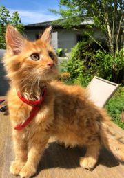 Maine Coon Kitten 12 Wochen