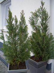 2 Stück Lebensbaum Thuja Höhe