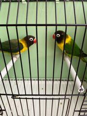Love Birds zu verkaufen