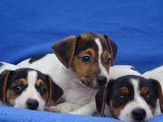 Jack-Russell-Terrier-Welpen - bildschöne Familienhunde