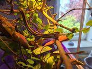 Strumpfbandnatter Thamnophis sauritus