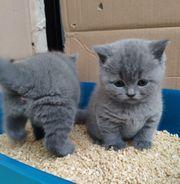 4 Reinrassige BKH Kitten - blue -