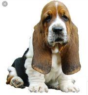 Suche nach der Hunderasse Basset