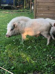 Männliches Minischwein sucht passendes Zuhause