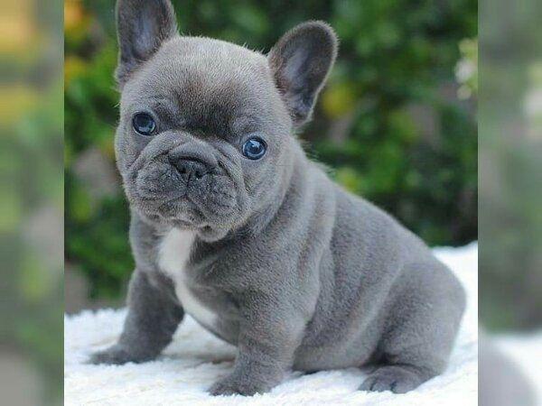 Franzosische Bulldogge Welpen In Der Farbe Blue Fawn T In Darmstadt Hunde Kaufen Und Verkaufen Uber Private Kleinanzeigen